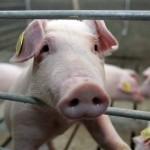 Pork price dropped for the first time in three months