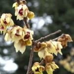 Local Government to Look Into Protecting Wintersweet Garden